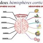 Les deux hémisphères corticaux